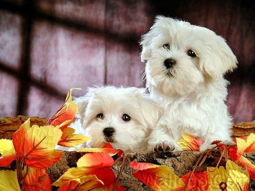 Cuddly Fluffy Maltese Puppy - puppies Photo