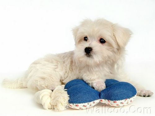 Cuddly Fluffy Maltese 子犬