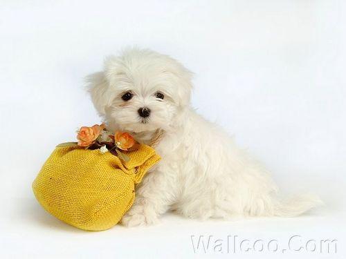 Cuddly Fluffy Maltese puppy