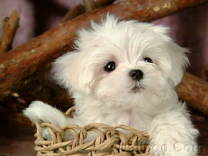 Cuddly Fluffy Maltese Puppy - Puppies Photo (13986024) - Fanpop ...