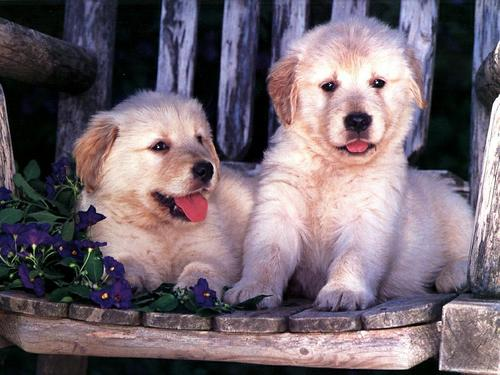 Puppies wallpaper entitled Cute Puppies