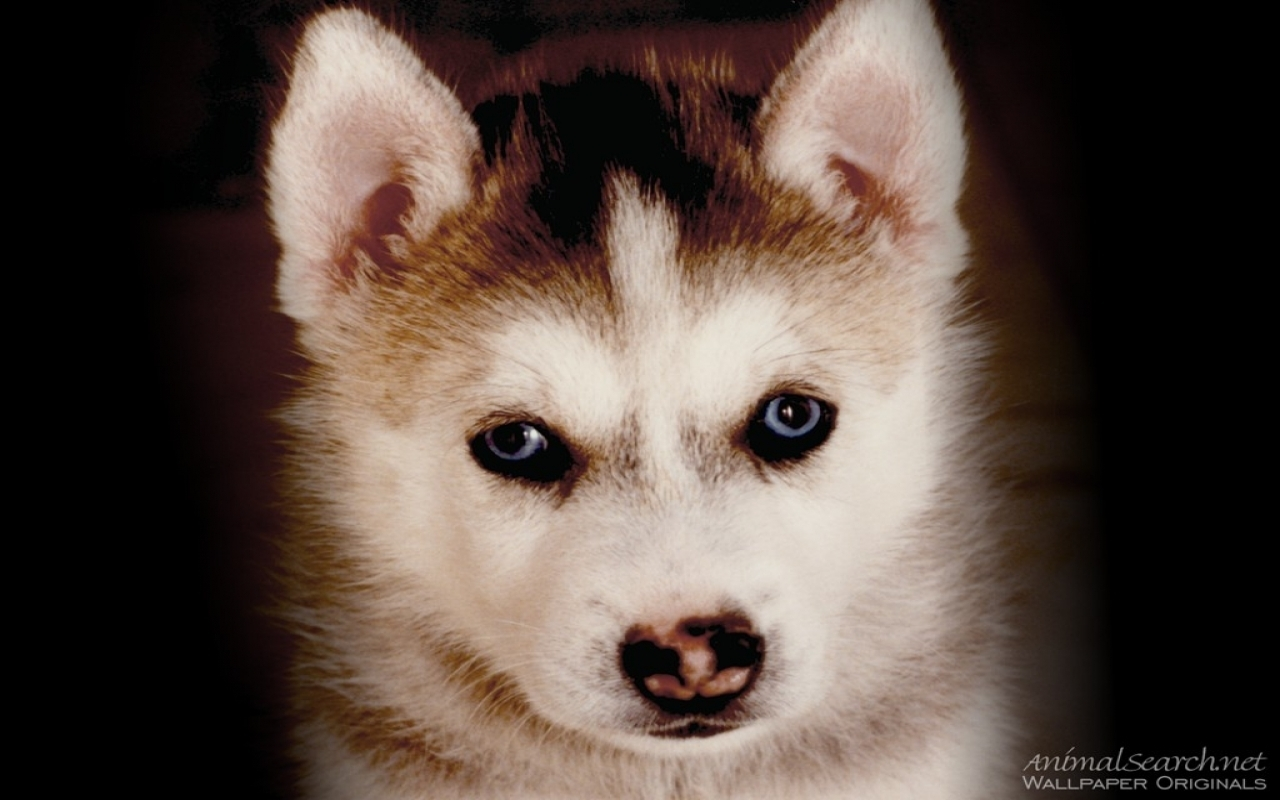 Puppies husky puppy