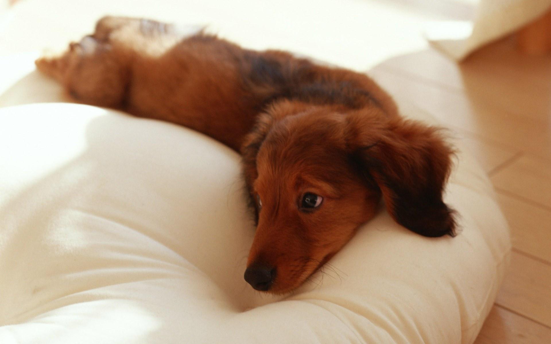 Ryan Higa Dog Breed