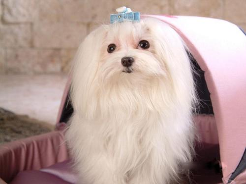 Maltese Cani wallpaper