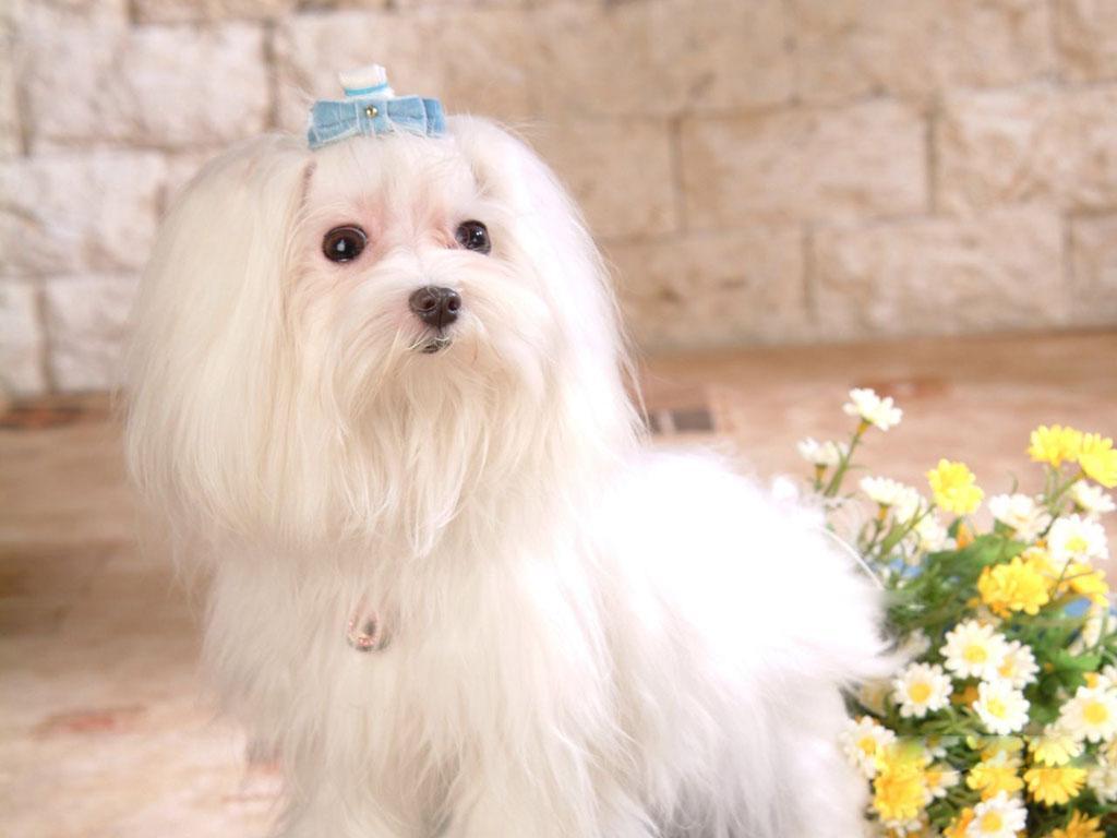 Maltese Dogs wallpaper