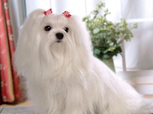 Maltese Dogs wallpaper