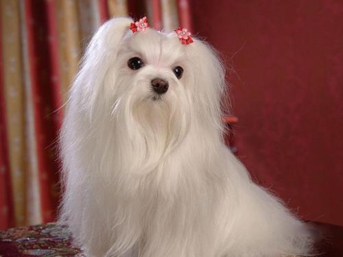 Maltese कुत्ता वॉलपेपर