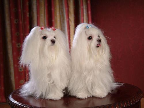 Maltese chiens fond d'écran