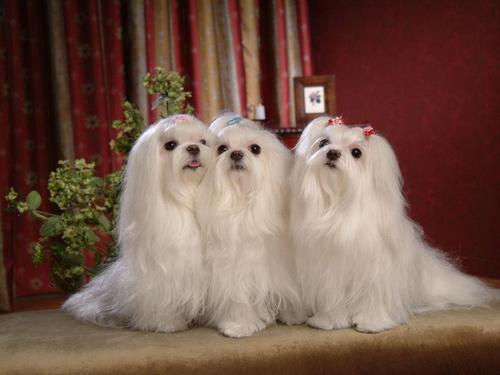 Maltese cachorros wallpaper