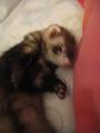 Miku <3 - ferrets photo