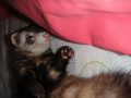 My ferret Miku :33 - ferrets photo