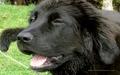 Newfoundland कुत्ते का बच्चा, पिल्ला