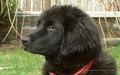 Newfoundland cachorro, filhote de cachorro