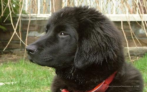 Newfoundland 小狗