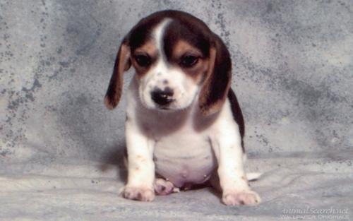 cucciolo Hound