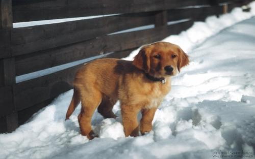 Retriever कुत्ते का बच्चा, पिल्ला