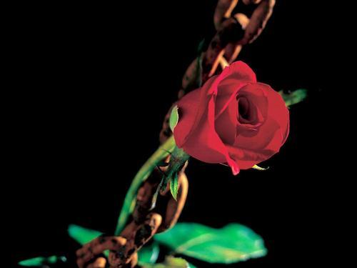 Romantic mga rosas