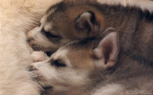 Siberian Husky chó con