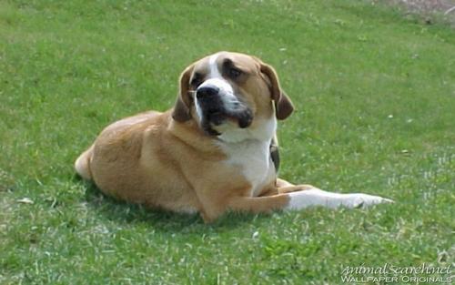 St. Bernard 강아지