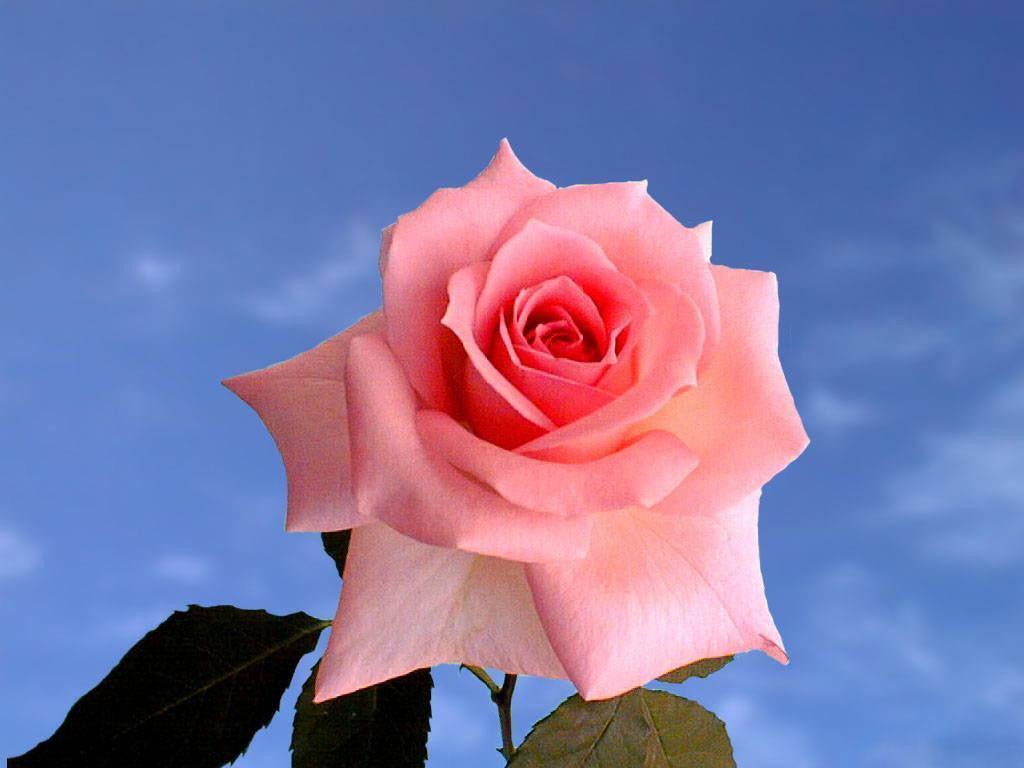 Roses Images The Rose Of Love HD Wallpaper And Background