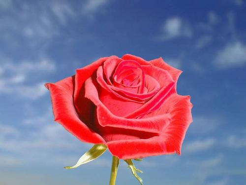 Roses wallpaper entitled The Rose of Love