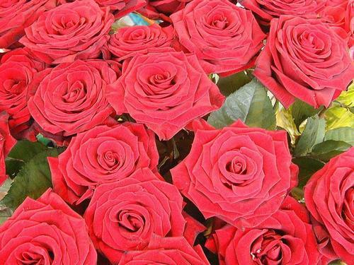 Roses wallpaper entitled The Rose of Love