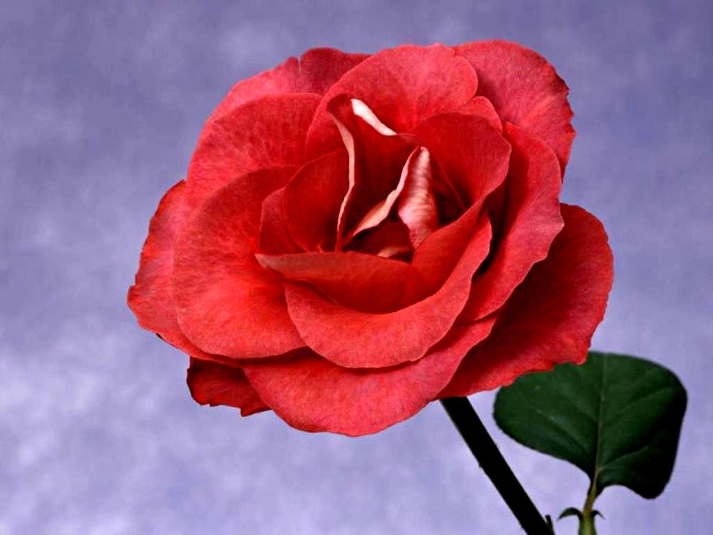 lov rose