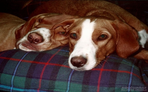 Two Hound Dogs Napping - dogs Wallpaper