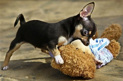 Chihuahuas 壁紙 entitled Adorable <3