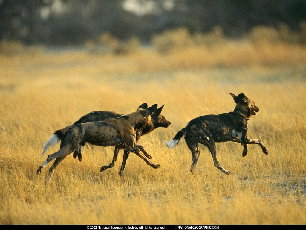 Wild Animals in Africa Kingdom Africa 39 s Wild Dogs