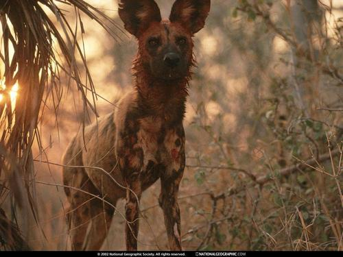 Africa's Wild Dogs - the-animal-kingdom Wallpaper