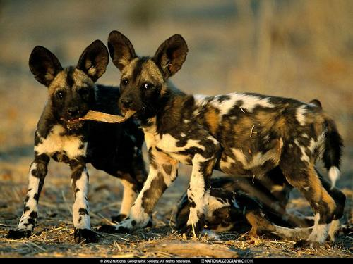 Africa's Wild Hunde