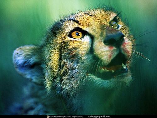 Cheetahs: Ghosts of the Grasslands