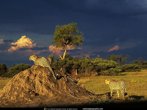 Cheetahs: Ghosts of the Grasslands