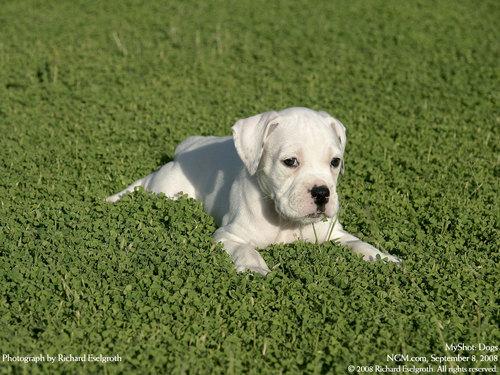 Dog वॉलपेपर
