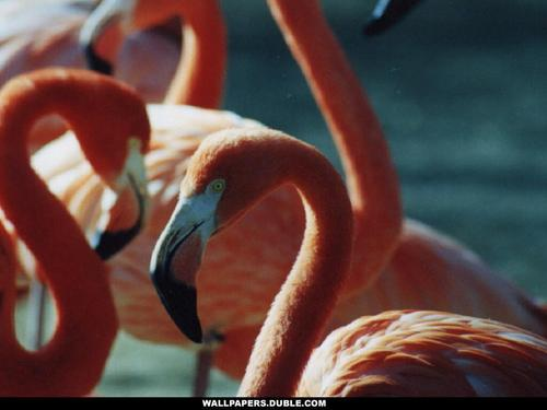 Flamingo - the-animal-kingdom Wallpaper