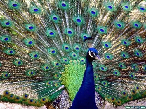Pretty Peacock - the-animal-kingdom Wallpaper