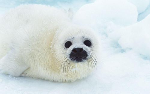 Seal Wallpaper