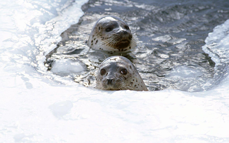 Seal Wallpaper