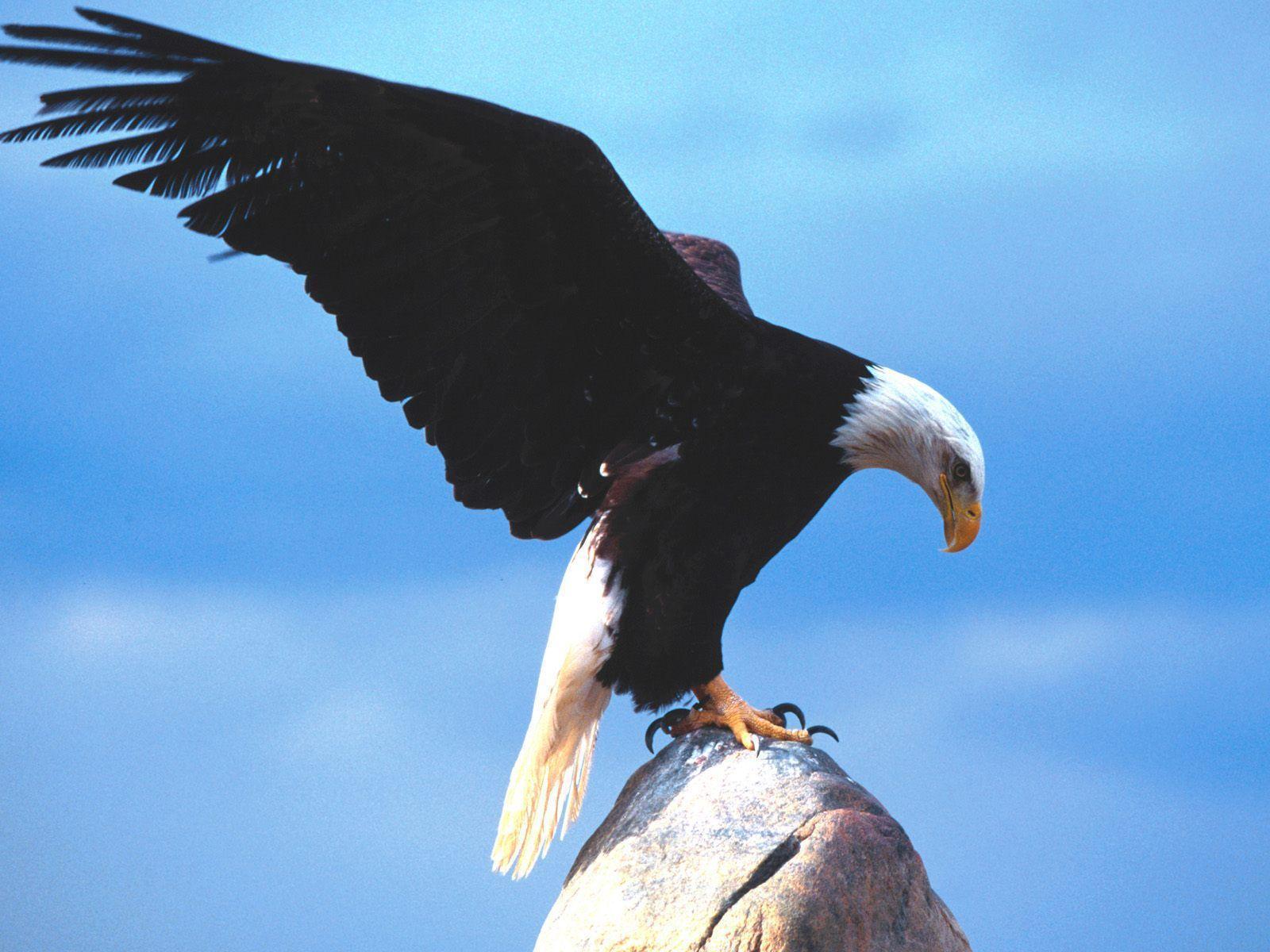 Forumaš iznad u liku životinje The-Eagle-the-animal-kingdom-14060200-1600-1200