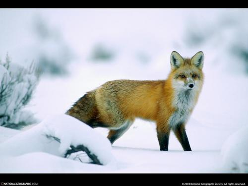 Winter Wildlife - the-animal-kingdom Wallpaper