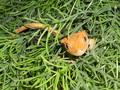 6 month old crested gecko flame orange morph female
