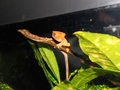 YOUNG FEMALE FLAME ORANGE CRESTED GECKO