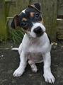 Jack Russell :)
