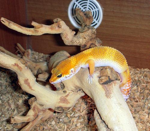 Leopard Gecko's! < 3