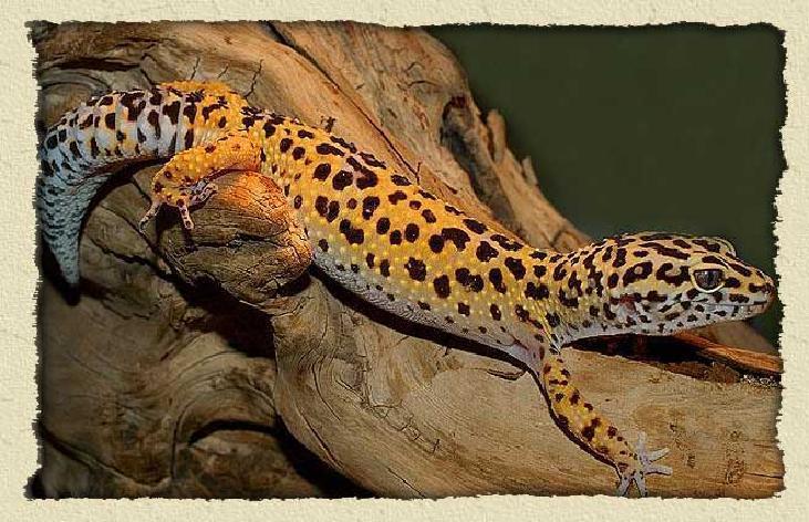 Leopard Gecko's!  Leopard Gecko&#...