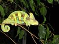 Picasso; 4 month old Veiled Chameleon