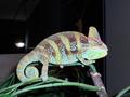 Picasso: Veiled Chameleon