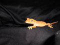 Skeeter, 8 month old crested gecko