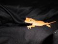Skeeter, 8 month old crested gecko